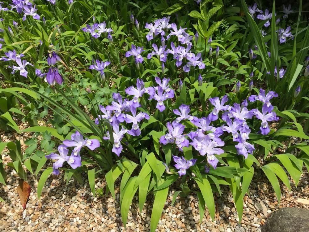 ヒメシャガ 姫射干 姫著莪 Iris Gracilipes ヒメシャガ 植物 ヒメ