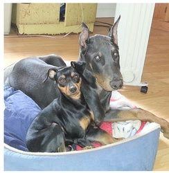 Adopt Blue Adopted On Doberman Rescue Doberman Pinscher Dog