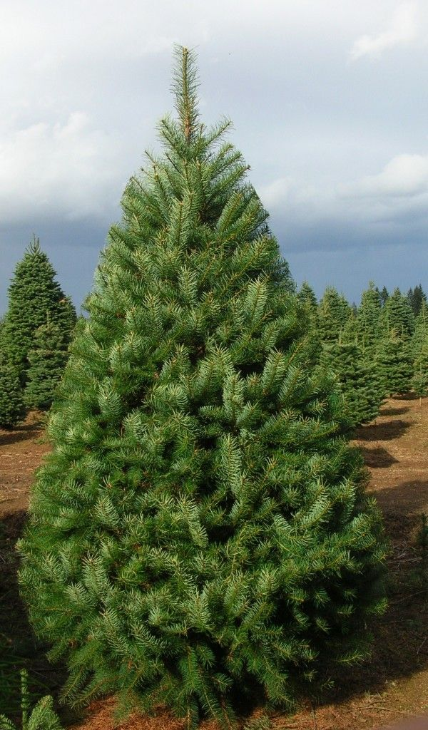 Fresh Christmas Tree.Douglas Fir From Oregon Is A Beautiful Christmas Tree With