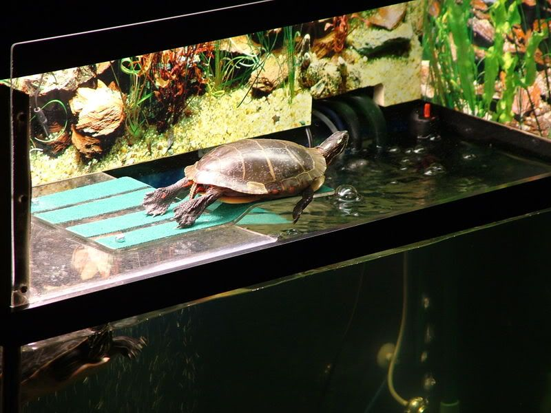 Good idea to reuse the basking platform. Most turtles are