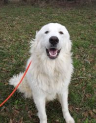 I Found Goliath On Great Pyrenees Dog New Short Haircuts Great