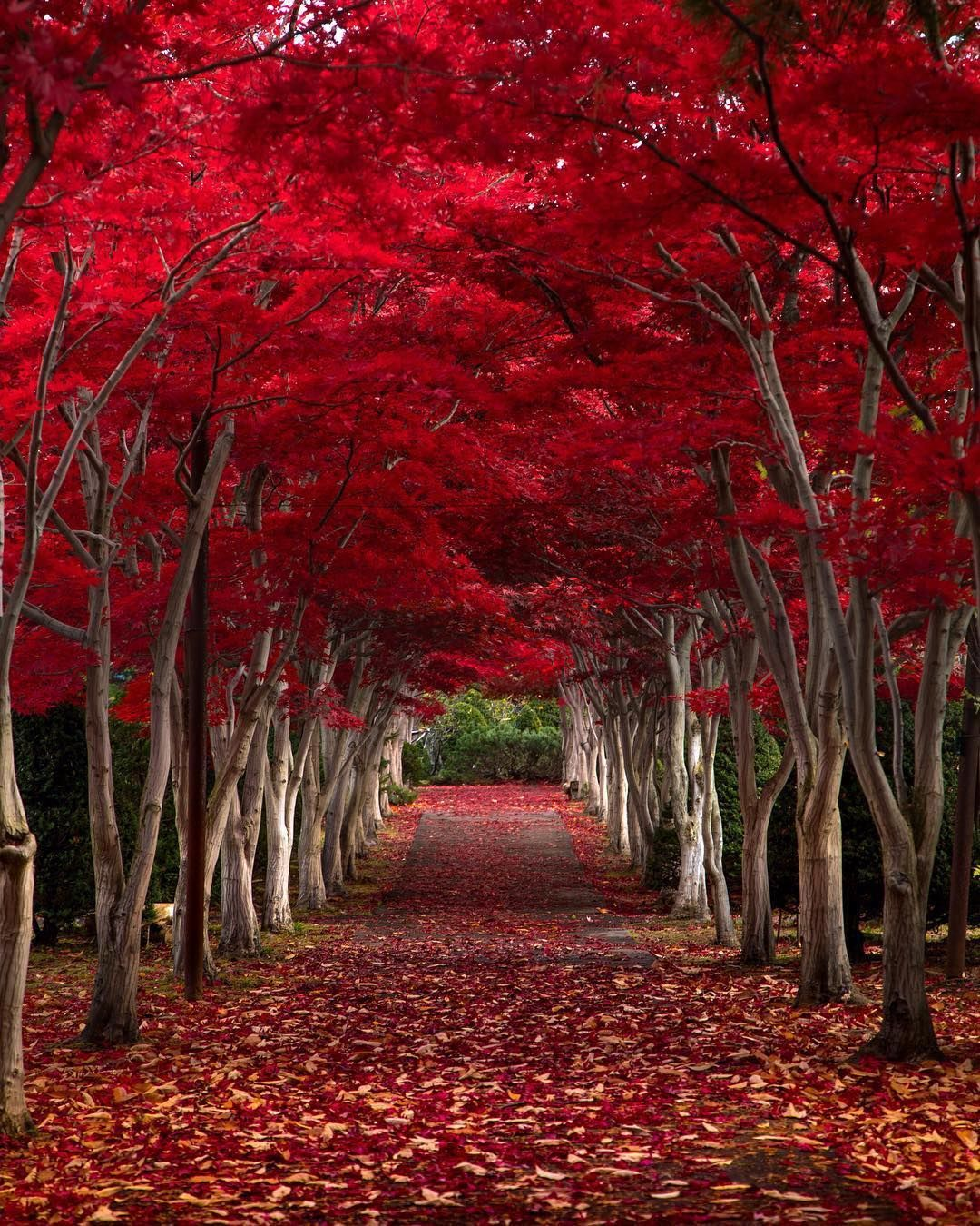 The Crimsonforest A Romantic Enchanted Forest Perfect For Valentine S Day Location Hokkaido Repost Haya Natural Wonders Beautiful Tree Scenery