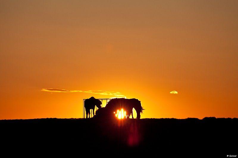 Horses in the Midnight Sun