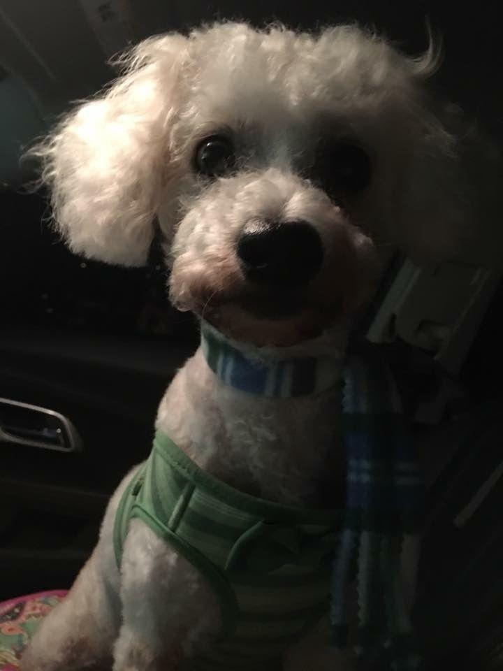 Bichon Frise Dog For Adoption In Tampa Fl Adn 450535 On