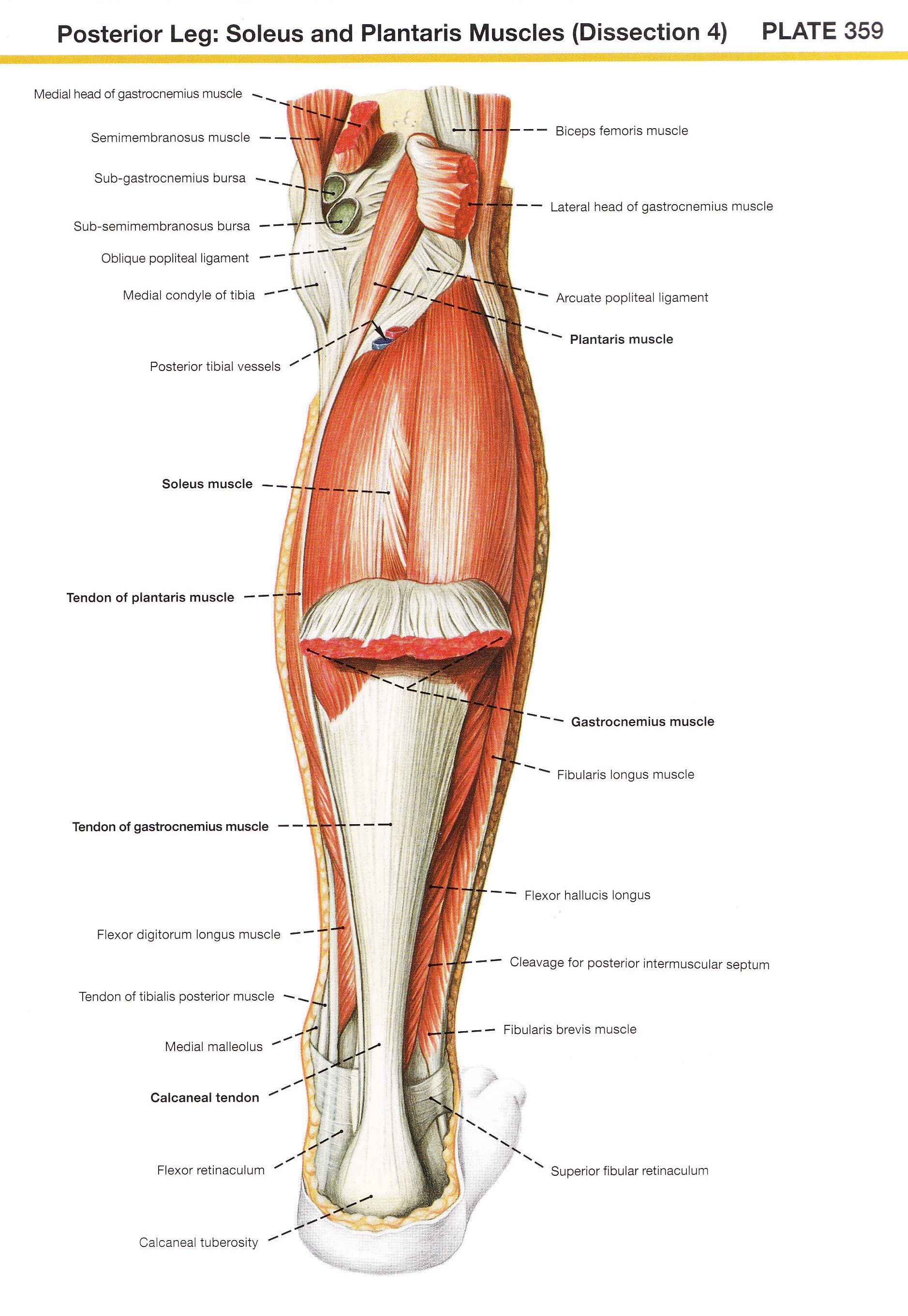 soleus and plantaris muscles | muscle | Pinterest