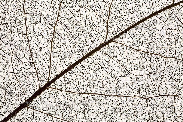 Macrophotographie des nervures d 39 une feuille d 39 arbre leaves leaf texture minimalist - Dessin d une feuille ...