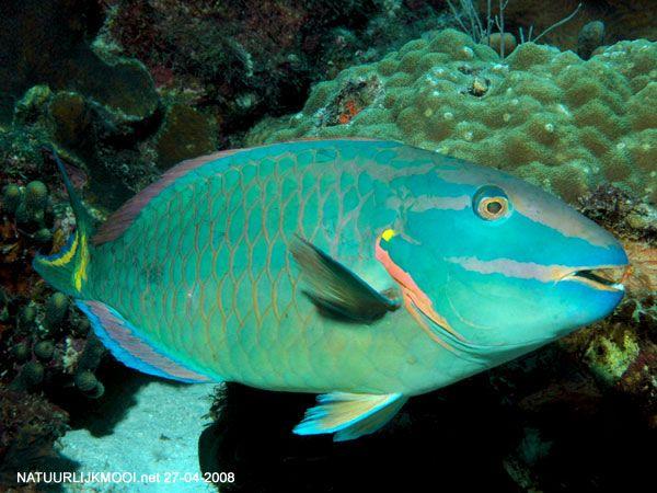 sparisoma viride curacao vissen en tropische vissen