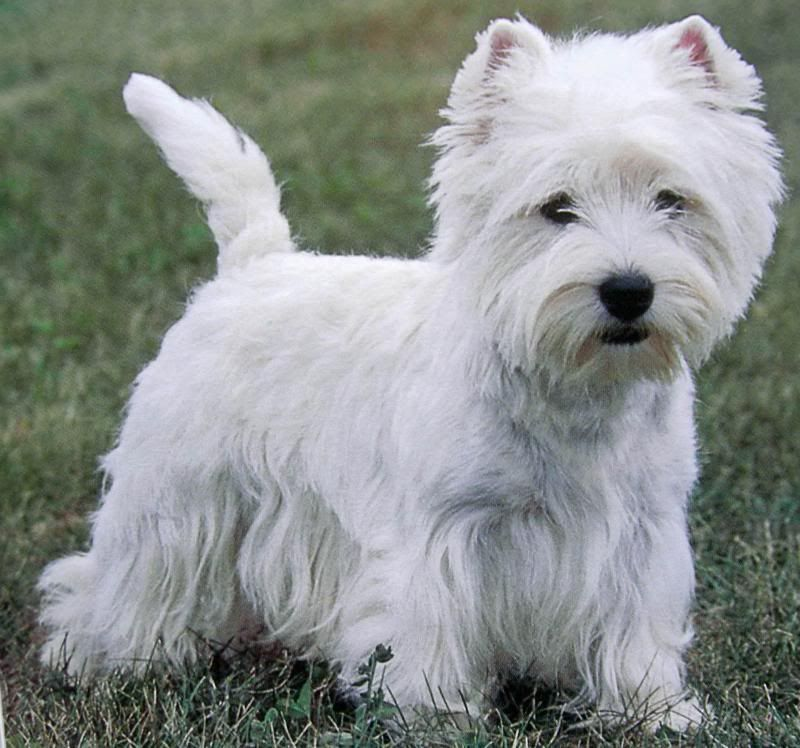Westie Find Other Westie Pictures And Photos Or Upload Your Own
