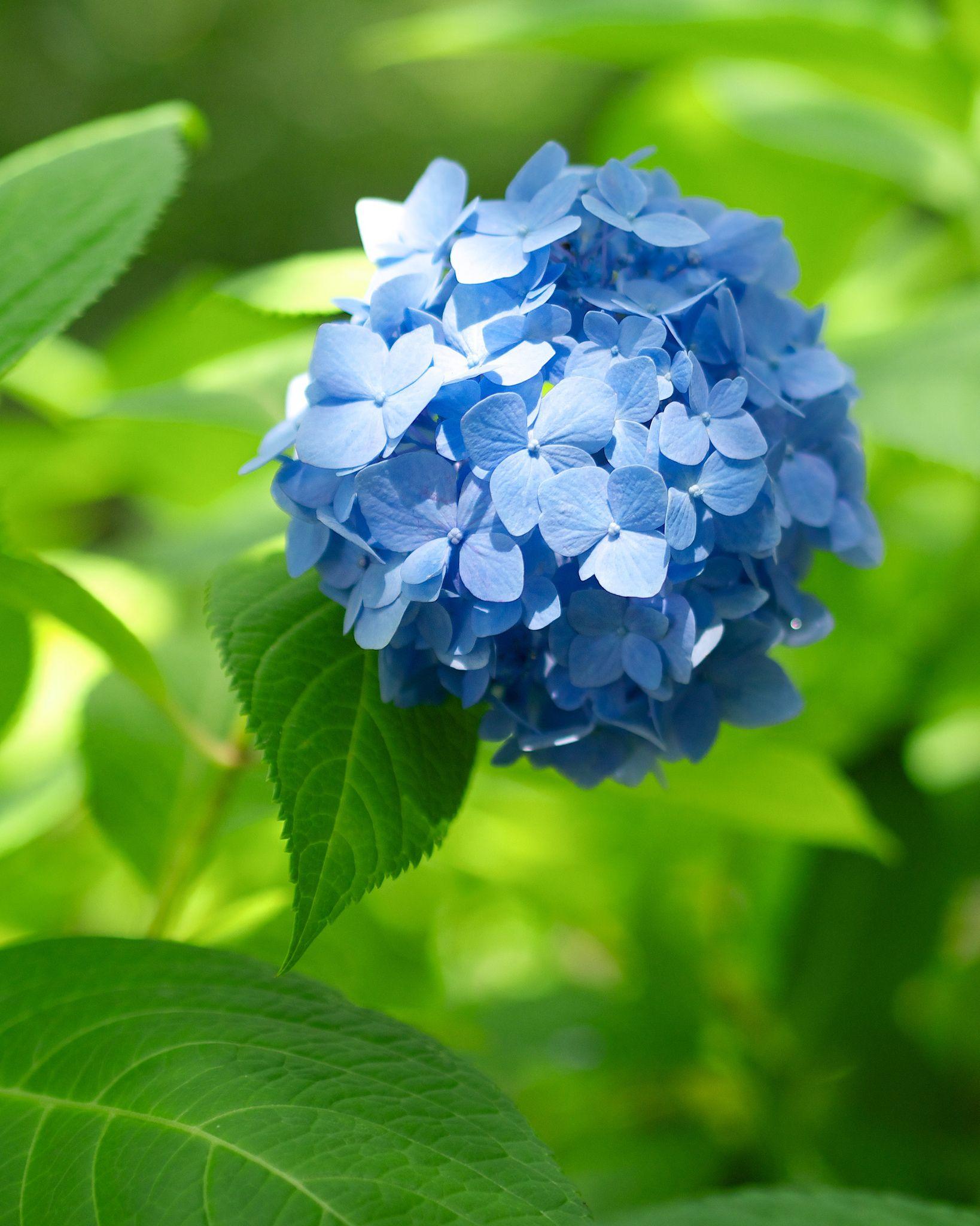Цветы растения высокие синие