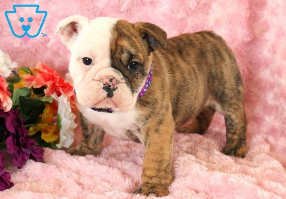 Daisy English Bulldog Puppy For Sale Keystone Puppies