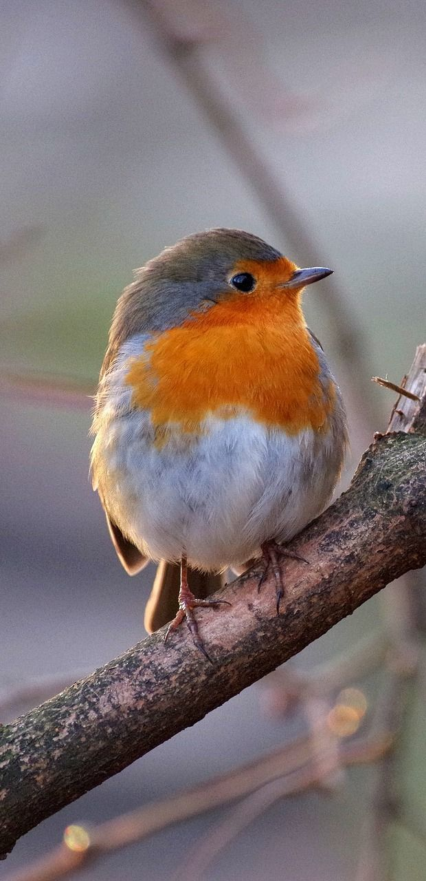 A cute robin