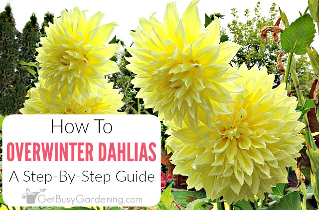 How To Store Dahlia Bulbs Storing Dahlia Tubers Over Winter Overwintering Dahlia Summer Flowers To Plant