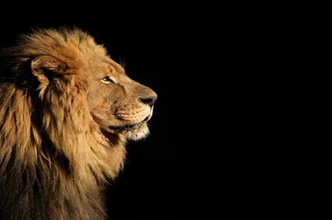 Glorious Lion Canvas Set Lion Safari African Lion Side Portrait