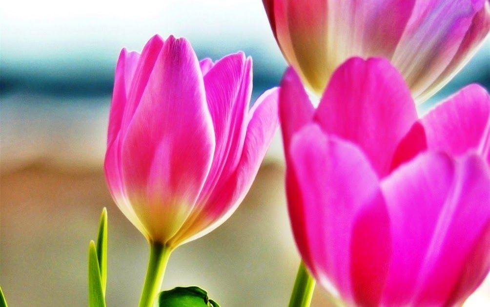 Wallpaper Bunga Pink Wallpaper Bunga Tulip Pink Tulips Hd Wallpapers Backgrounds Wallpaper Bunga Pink Free Hd Wallpapers Di 2020 Bunga Tulip Bunga Wallpaper Bunga