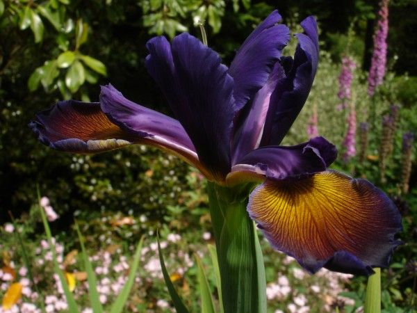 Iris spuria 'Lucky Devil'. Deep purple fantastically graded with orange and golden yellow.