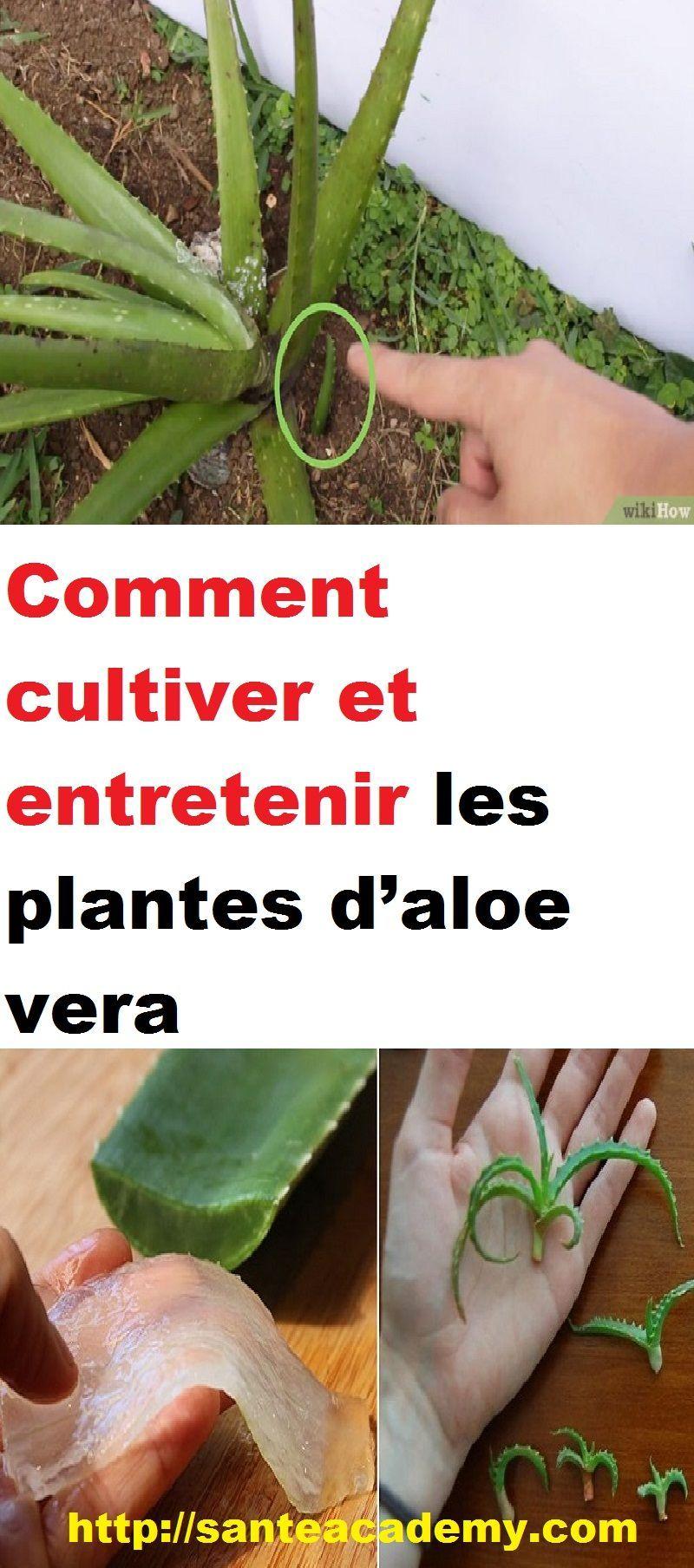 Comment Entretenir Une Plante Aloe Vera comment cultiver et entretenir les plantes d'aloe vera