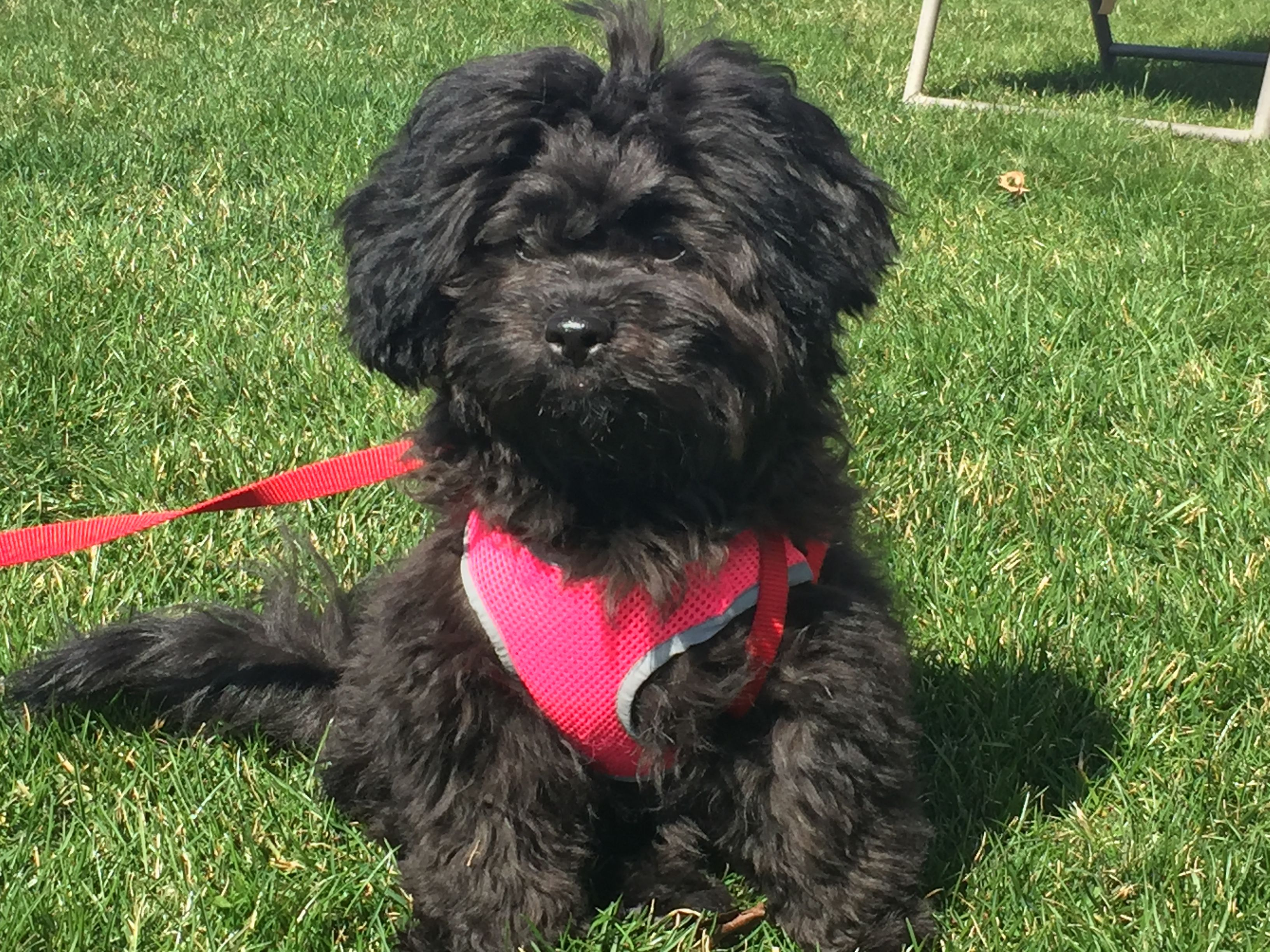 Shitzu Poodle Shipoo This Puppy Is Adorable 4 Month Old Black