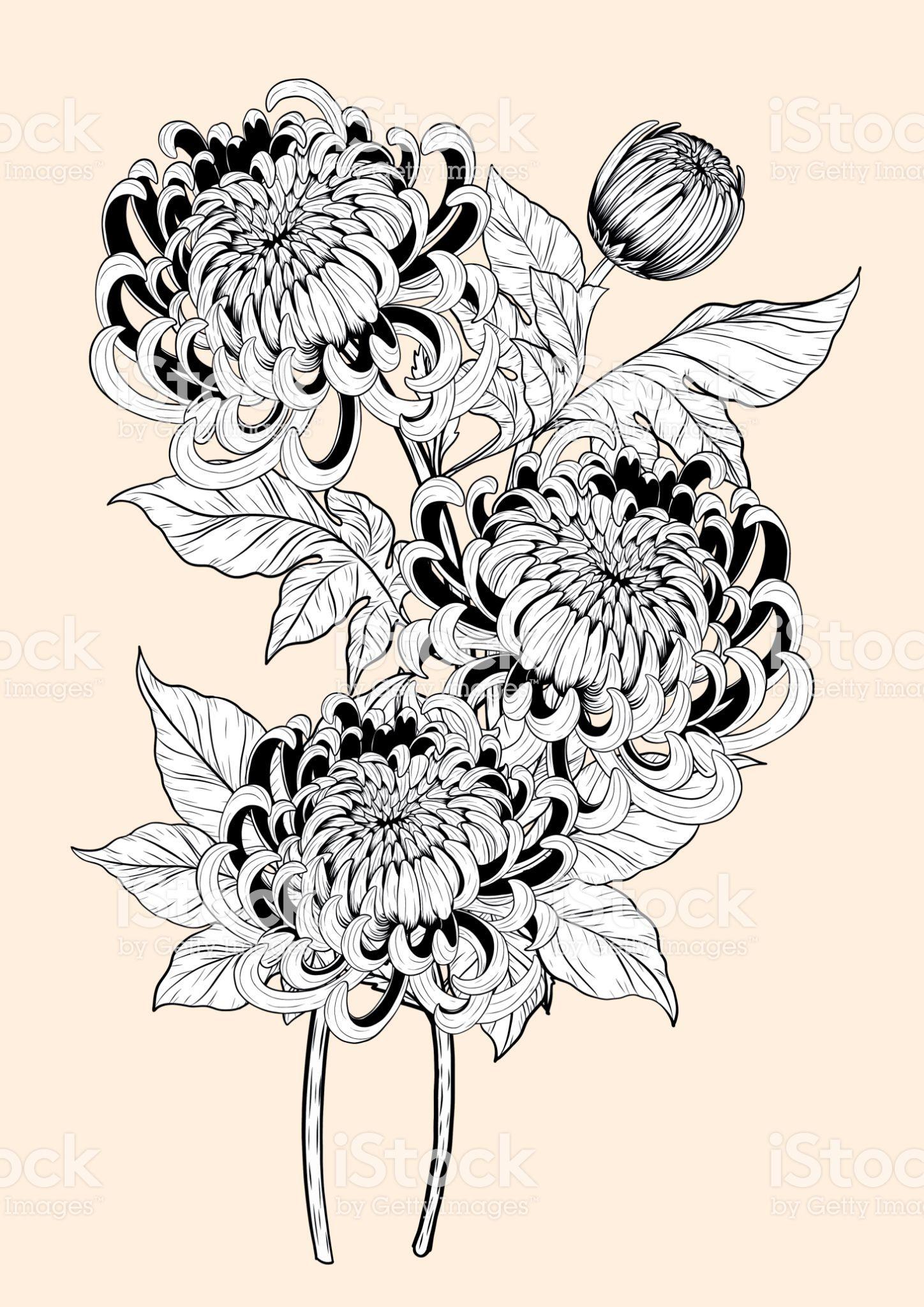 Chrysanthemum Vector On Brown Background Chrysanthemum Flower By Hand Drawing Royalty Free Chrysanth Chrysanthemum Tattoo Chrysanthemum Drawing Flower Drawing