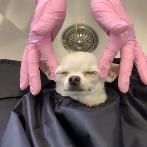 How a chihuahua went to a beauty salon