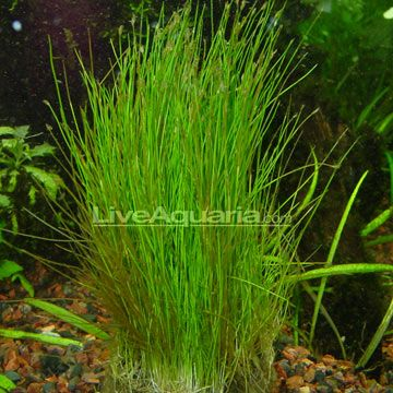 Aquatic plants for freshwater aquariums dwarf hairgrass for Fake pond plants