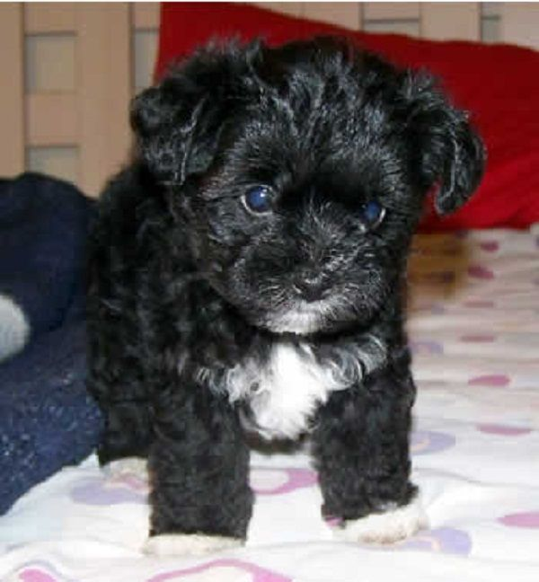 Adorable Shorkie Poo Pups Shih Tzu And Yorkie Poo One Male Left Looking For A Good Home And Almost Potty Trained Come Find Us Yorkie Poo Yorkie Shih Tzu