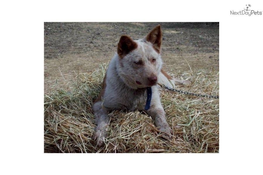 True Chocolate Queensland Heelers Sold Australian Cattle Dog Blue Heeler Heeler Blue Heeler Dogs