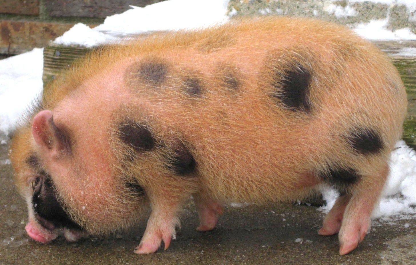 """Miniature Pigs 