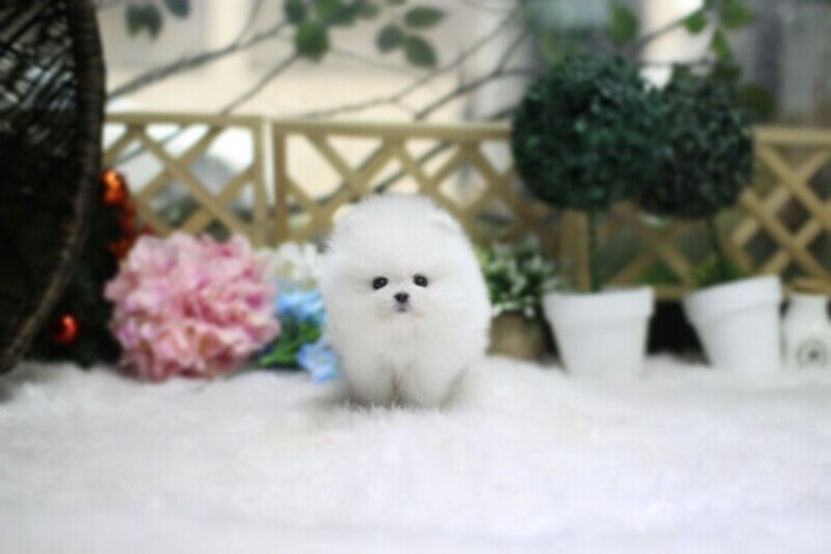 Lovely Ice white bear face teacup pomeranian puppies for adoption. Ready to go now.If they are going to good life long homes.Both male and female, adorable and playful puppies . Chunky with wrinkles in all the right places.These little pups are the friendliest #teacuppomeranianpuppy Lovely Ice white bear face teacup pomeranian puppies for adoption. Ready to go now.If they are going to good life long homes.Both male and female, adorable and playful puppies . Chunky with wrinkles in all the right #teacuppomeranianpuppy