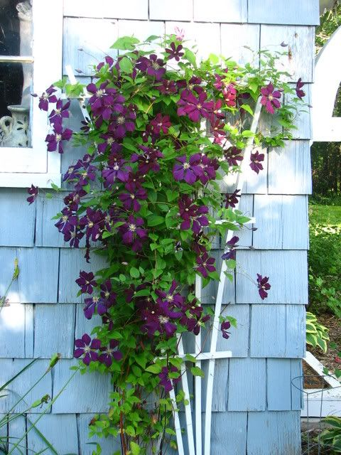 Delightful Trellis For Clematis Ideas Part - 2: Clematis Trellis Underneath Window On South Side Of Backyard - Gardening Man