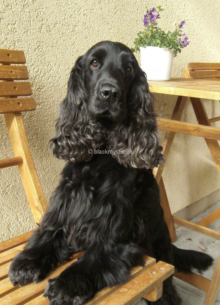 Cocker Spaniels Of Black Mystic Hundefamilie In 2020 Englischer Cocker Spaniel Hundehimmel Spaniel
