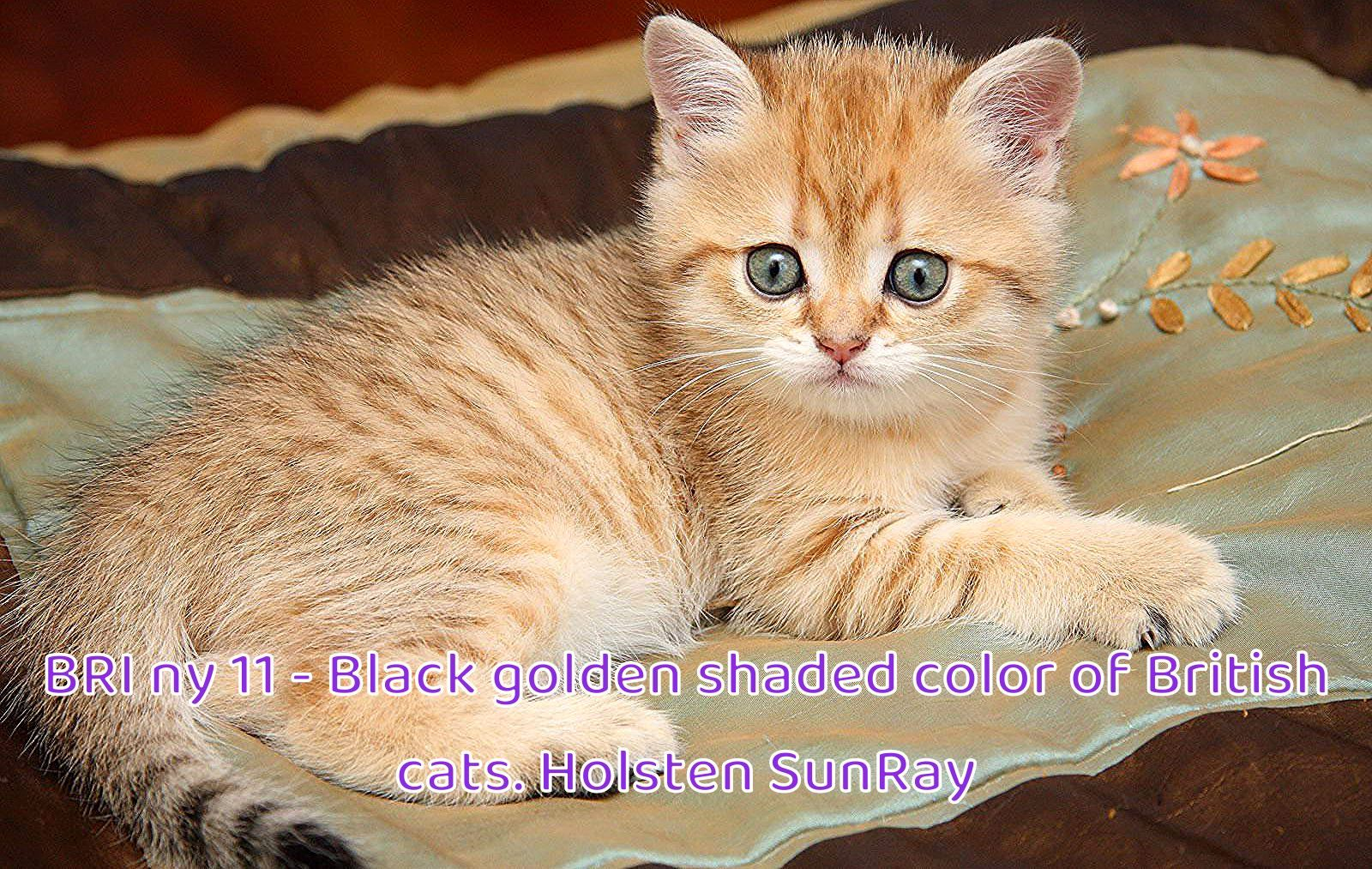 Name Holsten Sunray The Male Cat Bri Ny 11 Breed British Shorthair Color Black Golden Shaded Birthday December 15 200 In 2020 Cats British Shorthair Red Cat