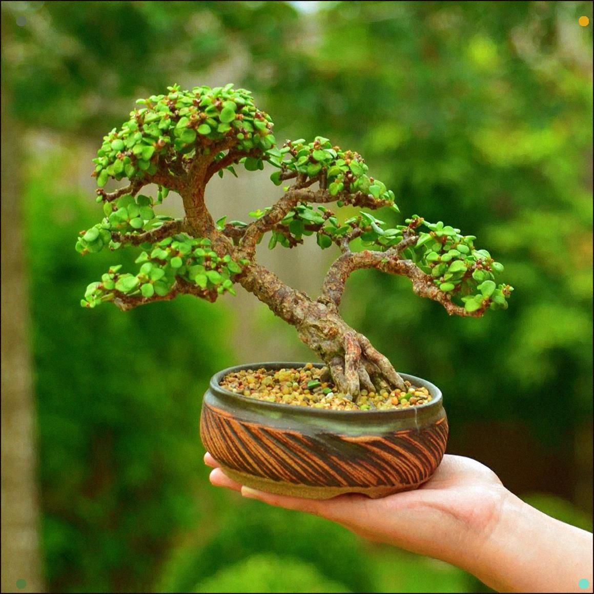 Portulacaria Afra Dwarf Jade Bonsai Tree By Gilbert Cantu With Little Jade Bonsai Jade Bonsai Bonsai Forest Jade Plant Bonsai