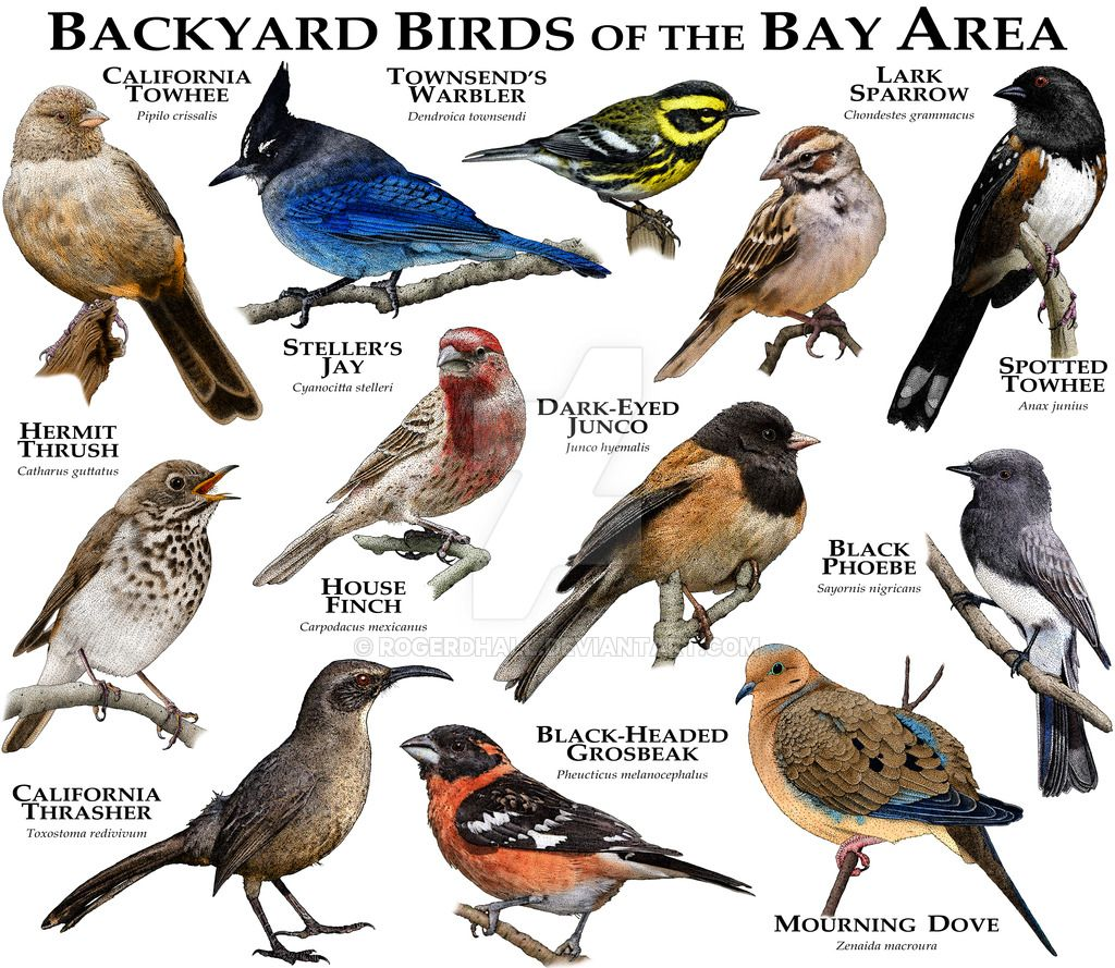 What Types Of Wild Birds Are Visiting My Backyard: Bay Area Birds By Rogerdhall On DeviantArt