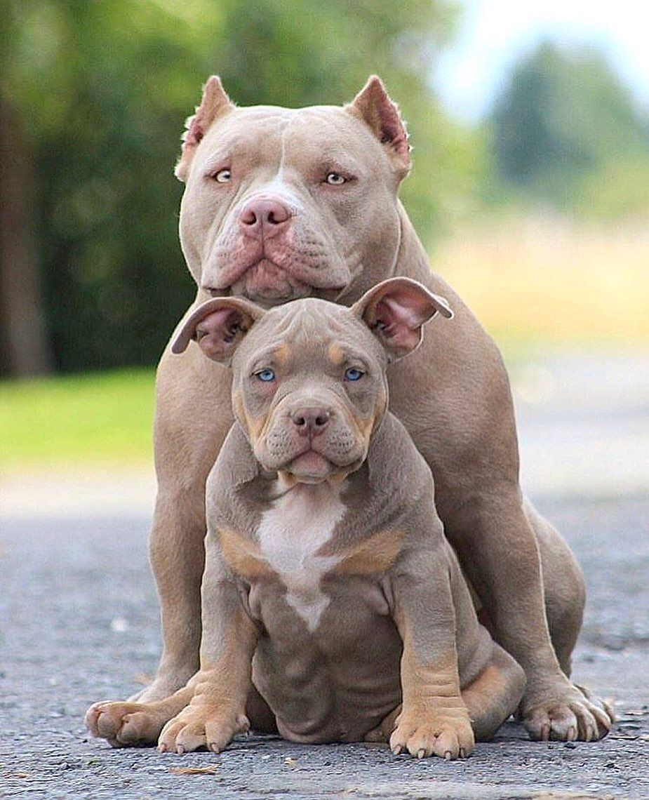 Pin On Red Nose Pitbull Puppies