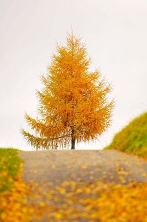 Havens nye større træ, en lærk som taler med træet ved udhuset. Skønne høstfarver, let løv