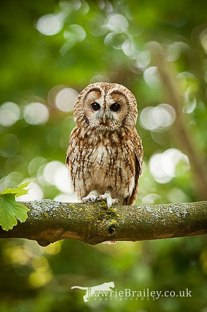 Bursting into Life - A Tawny Owl at the Hawk Conservancy Trust in Andover - UK Lawrie Brailey