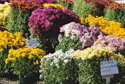 How to Care for Potted Mum Plants
