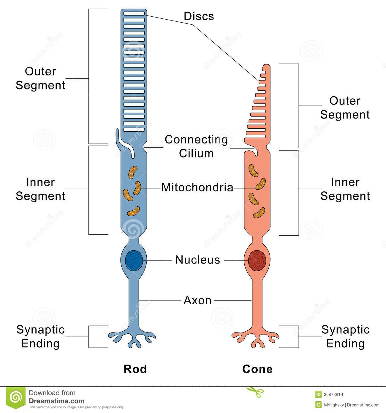 Image result for    rod    and cone cell    diagram      Neuron