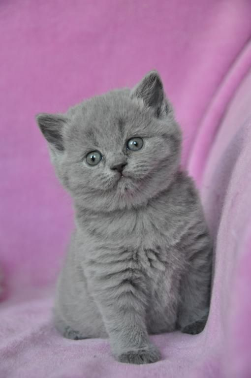 Brytyjski Kot Brytyjskie Kocieta Brytyjskie 5395195986 Oficjalne Archiwum Allegro Kittens Cute Teddy Bears Animals