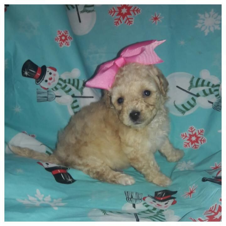Teacup Maltese Puppies For Sale In Texas Ideas
