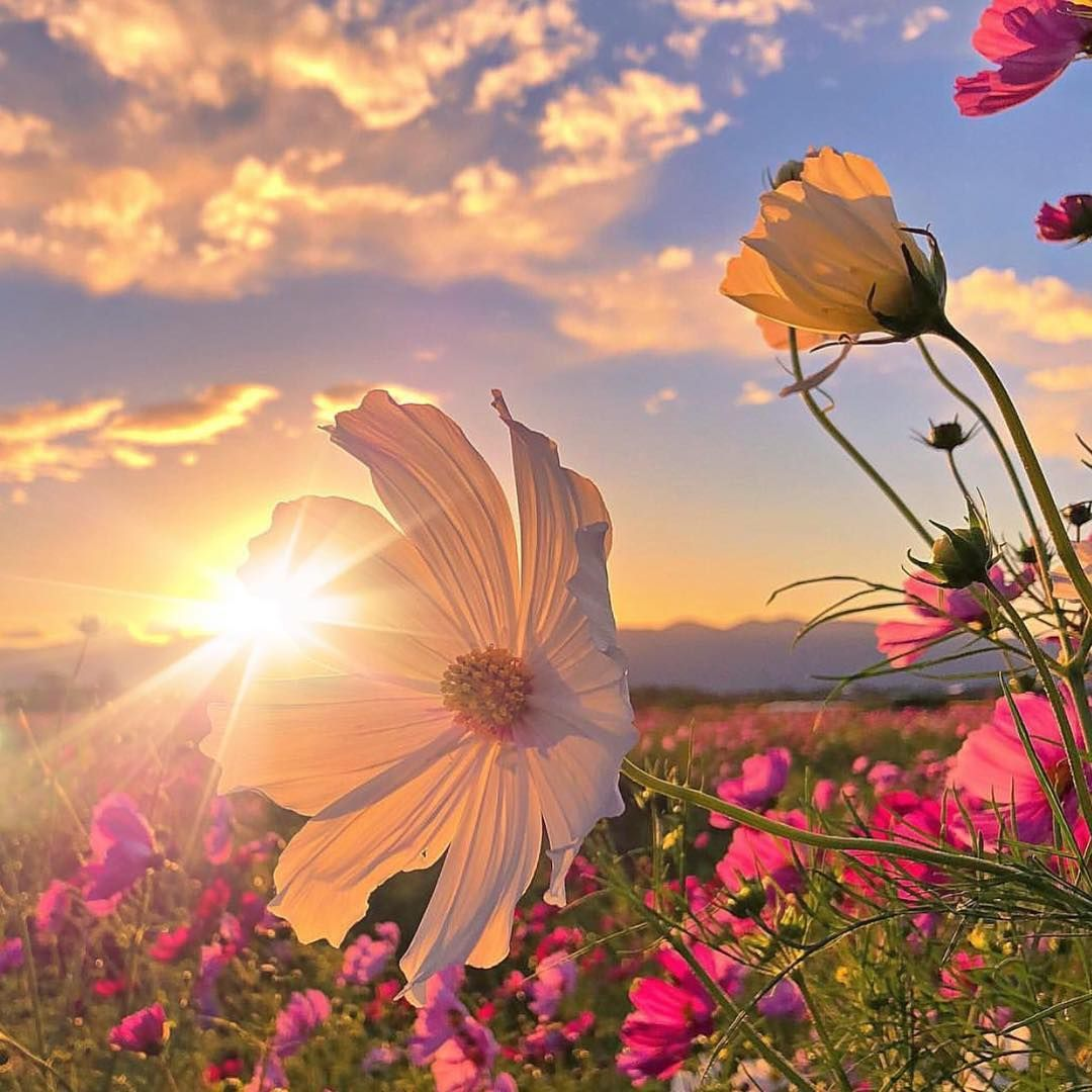 ⚜️🌺. . .#cosmos ~~~~~~~~~~~~~~~~~~~~~~~~~~~~~~~~ . ⚜️ @9Vaga_FlowersArt9 .  ⚜️ Ta | Beautiful nature wallpaper, Flowers photography, Cosmos flowers
