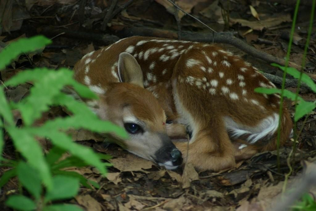 tiny fawn we found on one of our hikes thru our woods - stayed very still