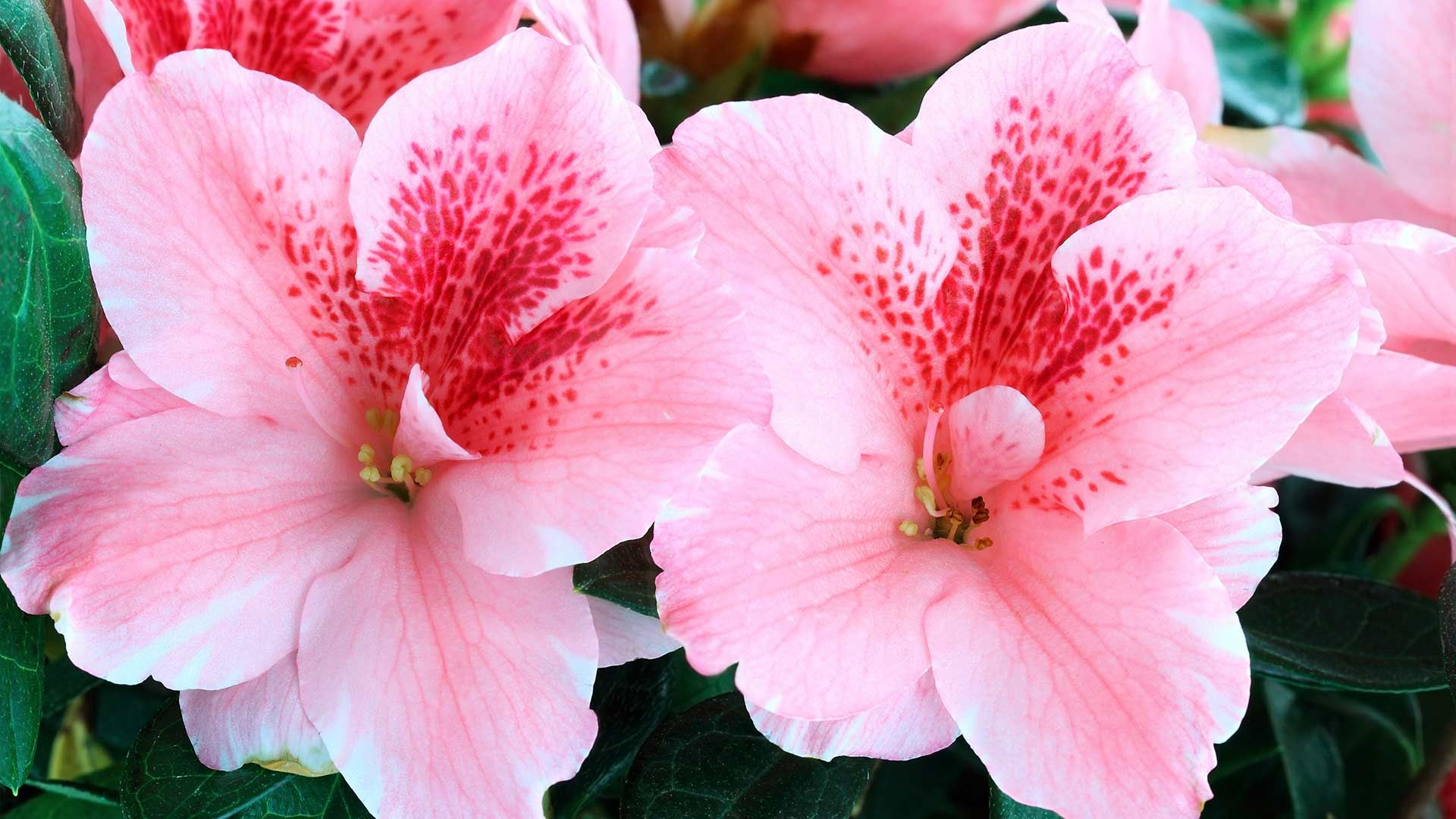 How to Plant Container Azaleas and Other Shrubs Plants