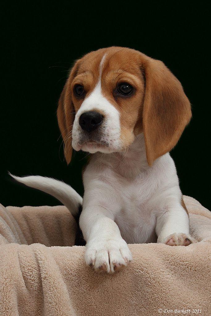 beagle in a box black background pinterest beagle dog