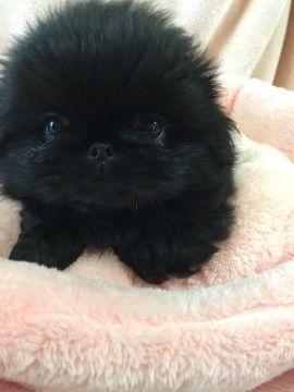 【国内最大のブリーダー子犬直販サイト】ペキニーズの子犬をブリーダーから安心