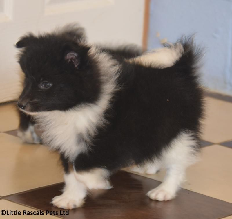 Lively Japanese Spitz X Boys And Girls Designer And Cross Breed