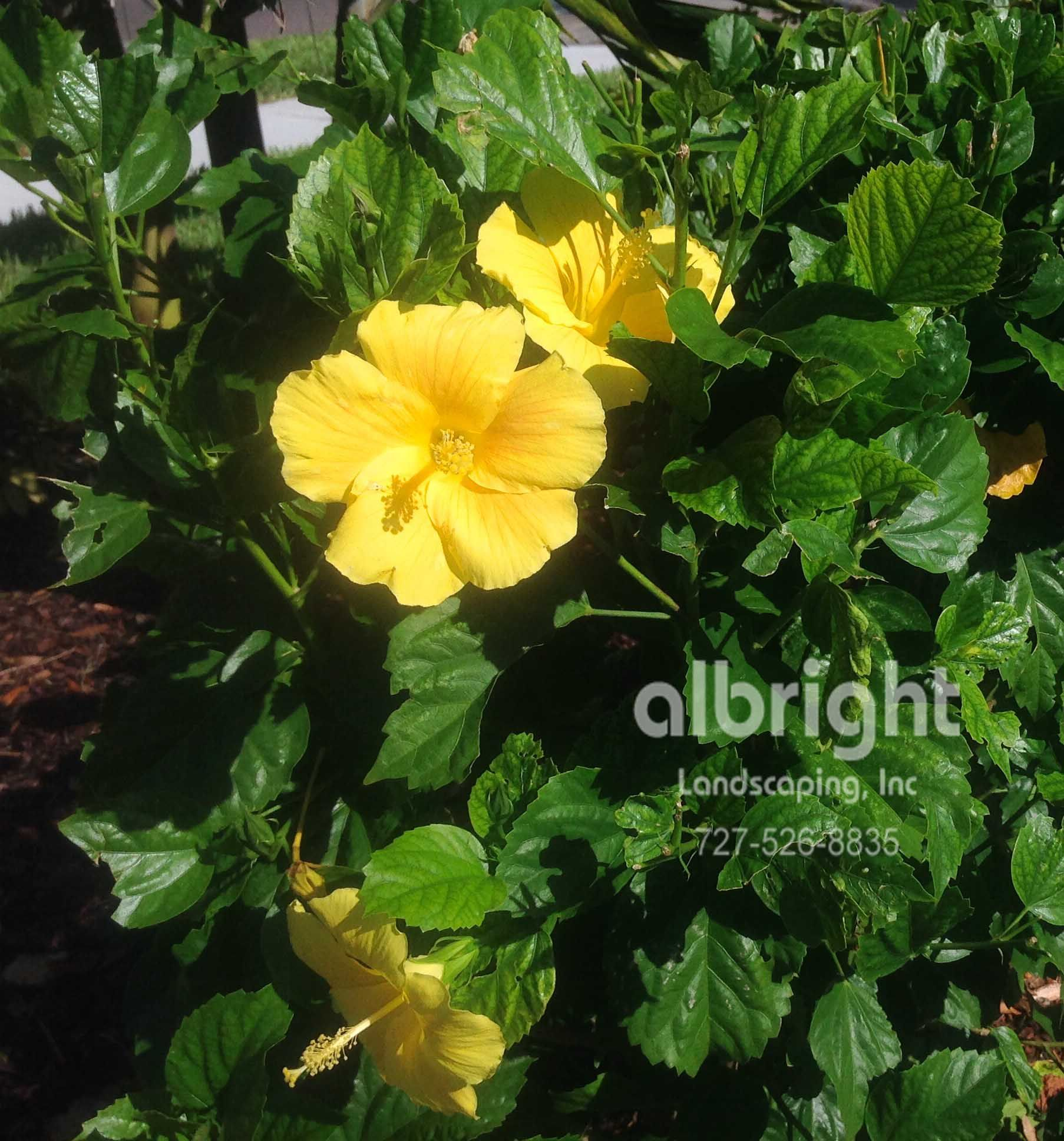 Tropical flowers yellow hibiscus blooms blooming shrub sunny yellow hibiscus blooms blooming shrub sunny garden plants izmirmasajfo Image collections