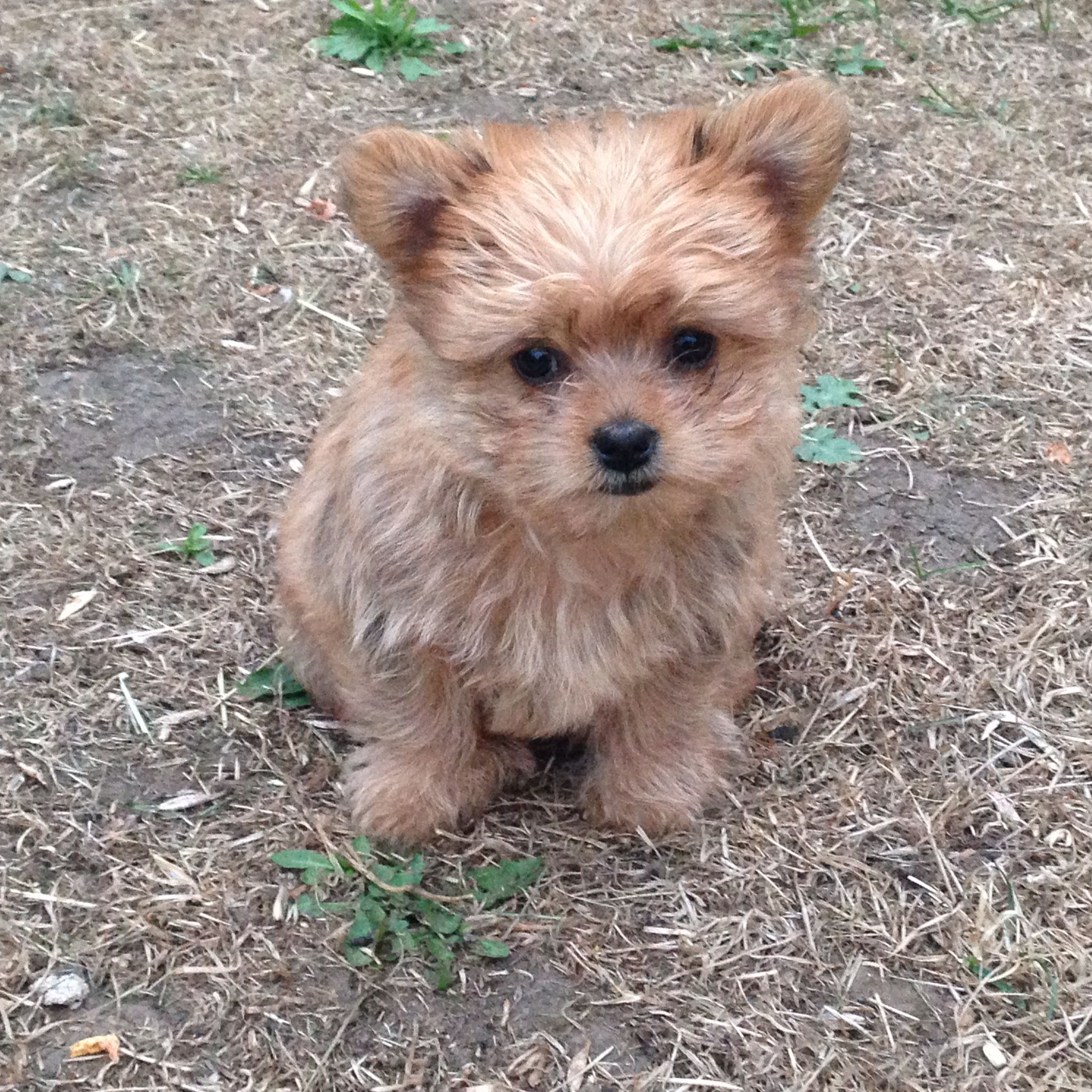 mixed breed Pomeranian and Yorkshire Terrier or a 'Yoranian'