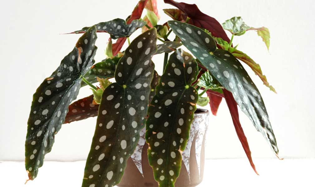 Begonia Maculata How To Care For A Polkadot Plant In 2020
