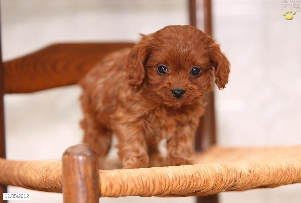 Cavapoo Puppy For Sale Cavapoo Puppies For Sale Cavapoo Puppies